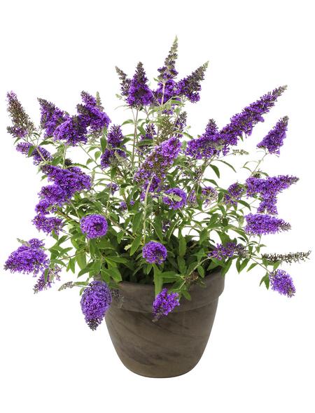Sommerflieder, Buddleja davidii »Buzz Sky Blue (S)«, Blütenfarbe blau