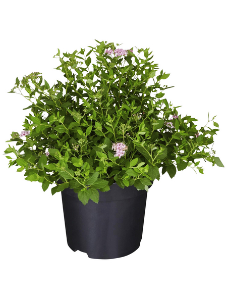 GARTENKRONE Spierstrauch, Spiraea japonica »Little Princess«, rosa/pink, winterhart