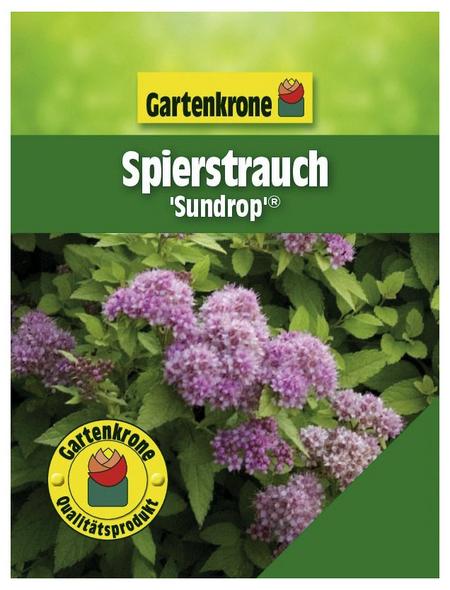GARTENKRONE Spierstrauch, Spiraea japonica »Sundrop «, rosa/pink, winterhart