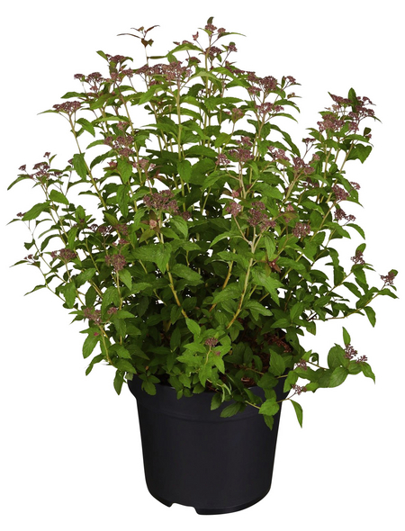 GARTENKRONE Spierstrauch Spiraea japonica »Superstar -R-«