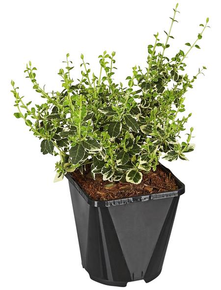 GARTENKRONE Spindelstrauch, Euonymus fortunei »Emerald Gaiety«, weiß, winterhart