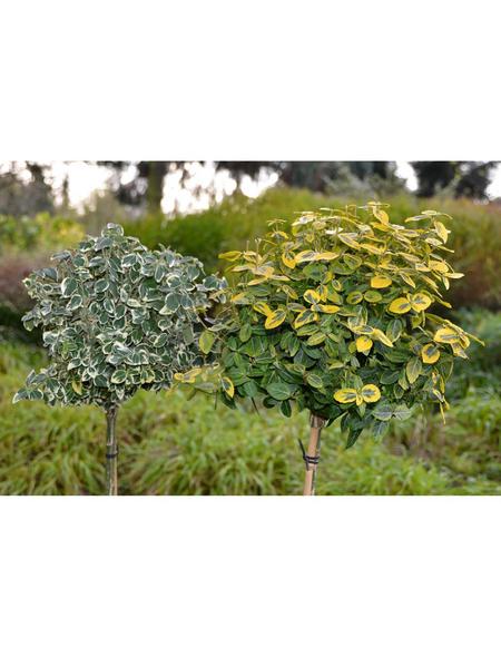 GARTENKRONE Spindelstrauch, Euonymus fortunei »Emerald Gaiety«, winterhart