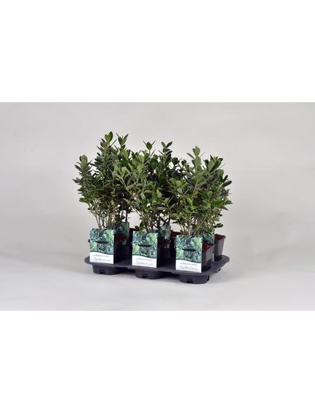GARTENKRONE Spindelstrauch Euonymus japonicus »Grey Beauty«