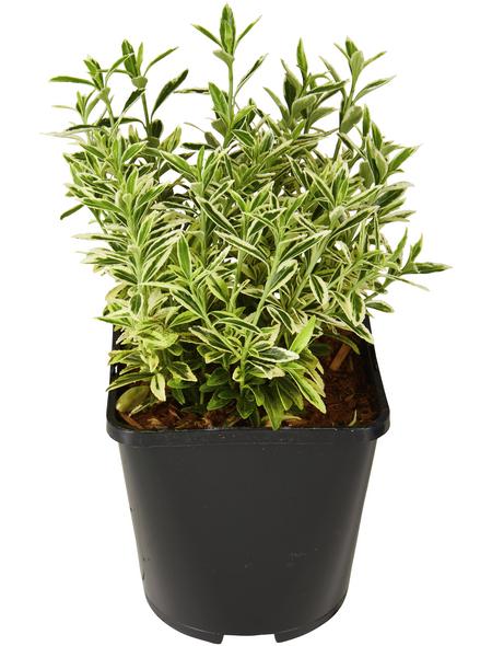 GARTENKRONE Spindelstrauch Euonymus japonicus »Microphyllus Aureo«