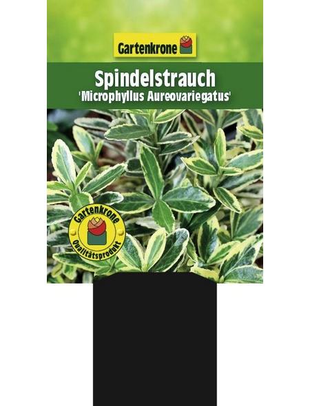 GARTENKRONE Spindelstrauch, Euonymus japonicus »Microphyllus Aureo«, weiß, winterhart