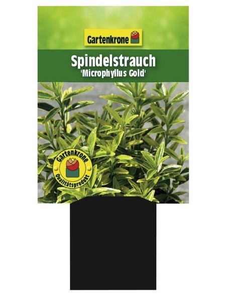 GARTENKRONE Spindelstrauch, Euonymus japonicus »Microphyllus Gold«, weiß, winterhart