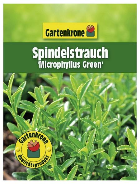GARTENKRONE Spindelstrauch Euonymus japonicus »Microphyllus Green«
