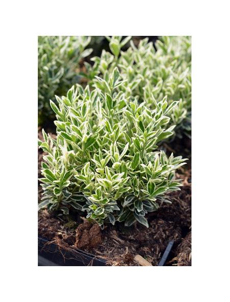 GARTENKRONE Spindelstrauch, Euonymus japonicus »Microphyllus Var.«, weiß, winterhart