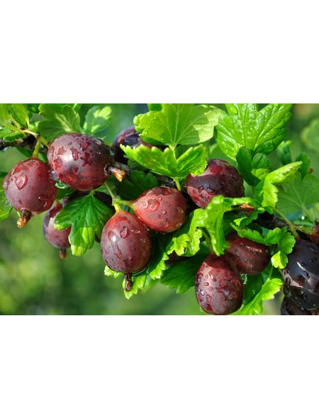 GARTENKRONE Stachelbeere, Ribes uva-crispa »Hinnomäki« Blüten: creme, Früchte: rot, essbar
