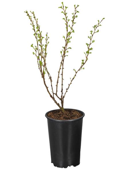 GARTENKRONE Stachelbeere, Ribes uva-crispa »Hinnonmäki« Blüten: creme, Früchte: rot, essbar