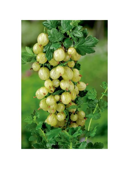 GARTENKRONE Stachelbeere, Ribes uva-crispa »Karlin«, Früchte: grün, essbar