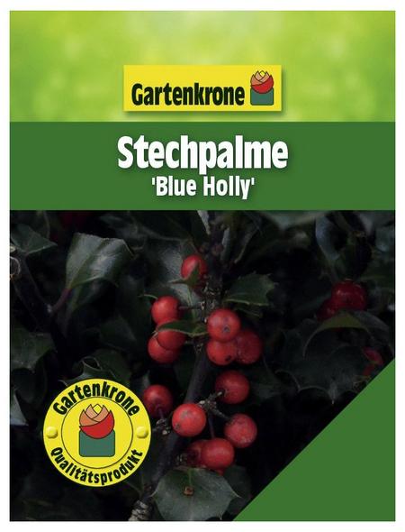 GARTENKRONE Stechpalme, Ilex meserveae »Blue Holly«, Blütenfarbe weiß