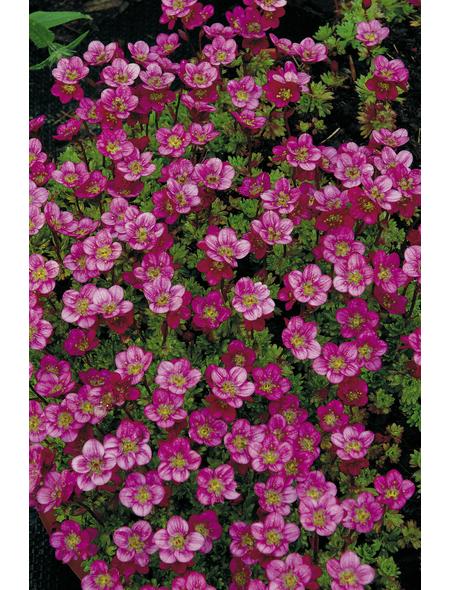 RockCollection® Steinbrech, Saxifraga arendsii, rosa, winterhart