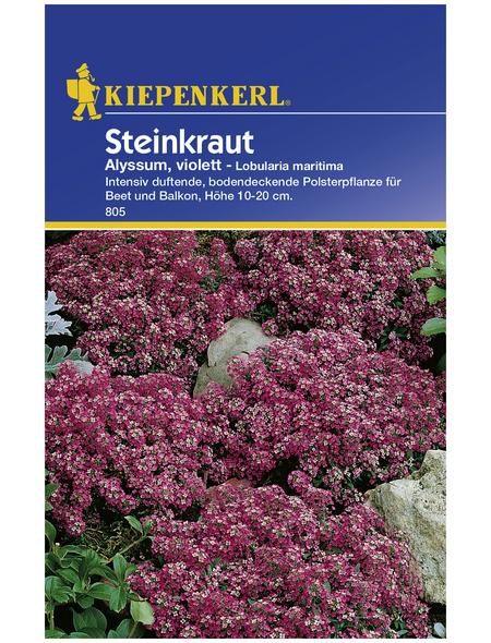 KIEPENKERL Steinkraut, Lobularia maritima, Samen, Blüte: lila