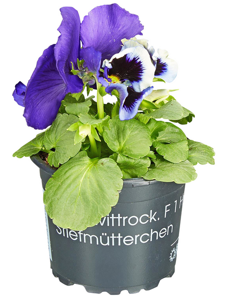 GARTENKRONE Stiefmütterchen Viola wittrockiana 'F 1 hybrid'