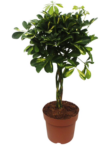 Strahlenaralie Schefflera arboricola »Gold Capella«
