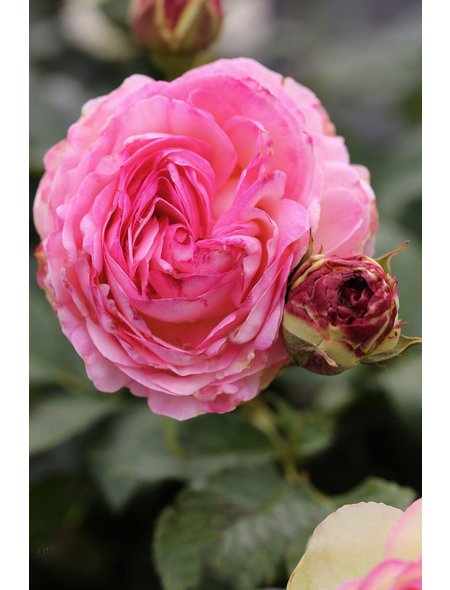 Strauchrose »Eden Rose85 ®«, Rosa, Blüte: blassrosa