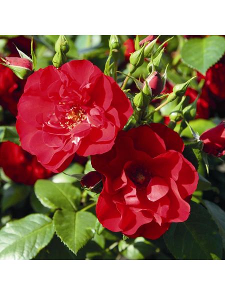ROSEN TANTAU Strauchrose, Rosa x hybride »Paprika«, Blüte: rot, gefüllt