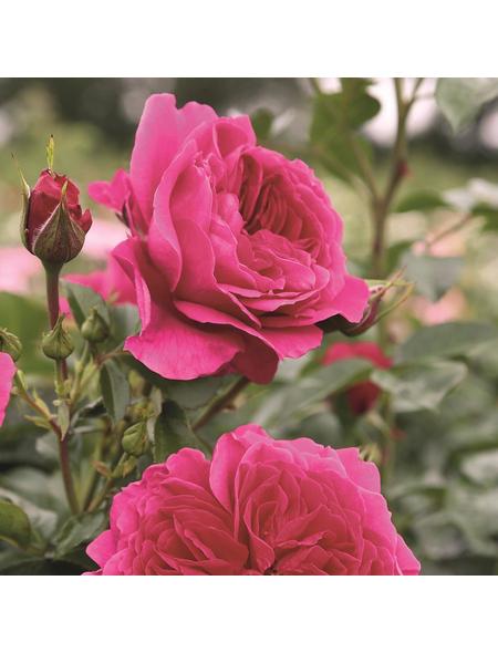 ROSEN TANTAU Strauchrose, Rosa x hybride »Soul®«, Blüte: violett, gefüllt