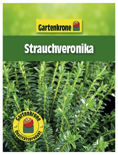 GARTENKRONE Strauchveronika, Hebe buxifolia, Blütenfarbe weiß