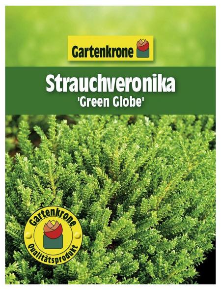 GARTENKRONE Strauchveronika, Hebe »Green Globe«, weiß, winterhart