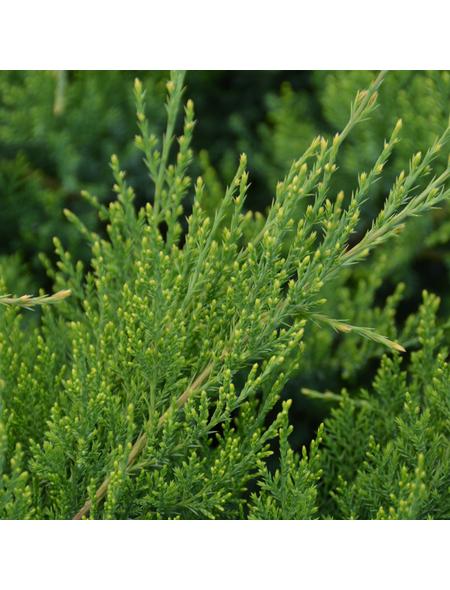 GARTENKRONE Strauchwacholder Juniperus chinensis »Mint Julep«