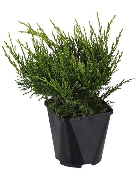 GARTENKRONE Strauchwacholder, Juniperus chinensis »Mint Julep«, winterhart