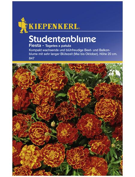 KIEPENKERL Studentenblume, Tagetes patula, Samen, Blüte: rot/orange