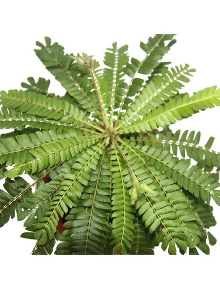 Südseepalme, sensitivum Biophytum, Topf-Ø: 9cm