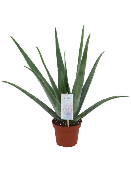 Sukkulente Aloe, Aloe vera, grün, Blüten: gelborange