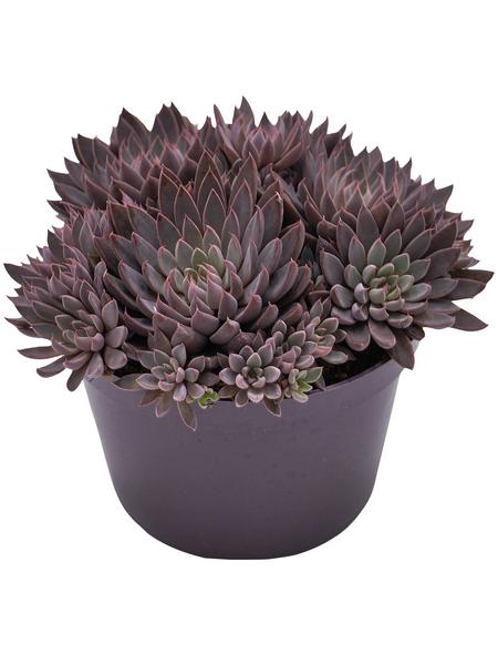 Sukkulente Echeverie, Echeveria rusbyi, violett, Blüten: rot/weiß