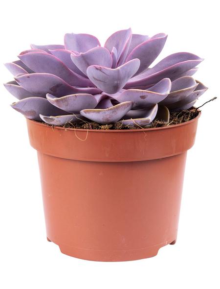 Sukkulente Echeverie, Echeverie »purple pearl«, lila