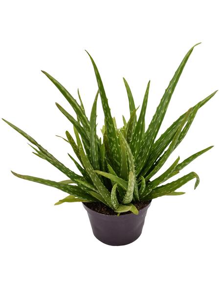 Sukkulente Echte Aloe, Aloe vera, grün, Blüten: gelb