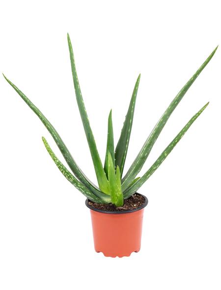 Sukkulente Echte Aloe, Aloe vera, mehrfarbig, Blüten: gelb