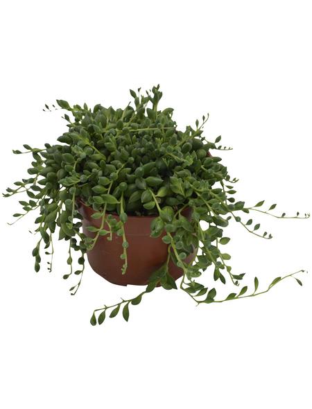 Sukkulente Erbsen am Band, Senecio rowleyanus, grün, Blüten: gelb