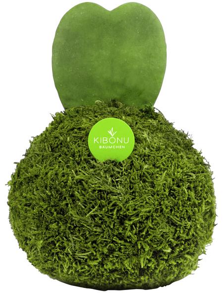 KIBONU Sukkulente Herzblatt, Hoya kerrii, grün