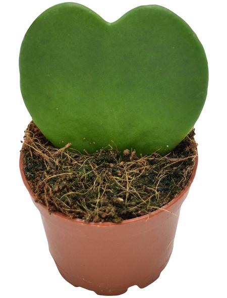 Sukkulente Kleiner Liebling, Hoya kerrii, grün, Blüten: rot/weiß