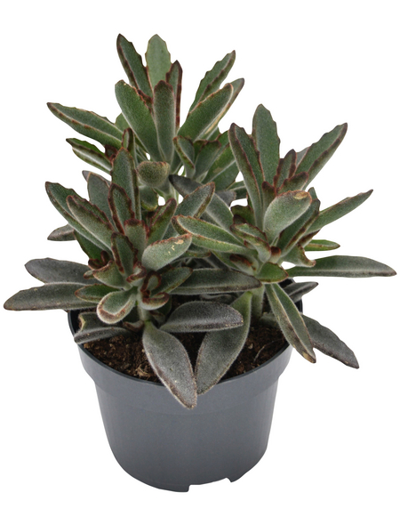 Sukkulente Pandapflanze, Kalanchoe tomentosa cv. »Nigra«, grün, Blüten: grün/rot