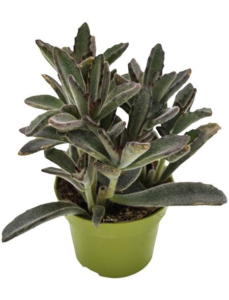 Sukkulente Pandapflanze, Kalanchoe tomentosa »Nigra«, grün, Blüten: grün/rot