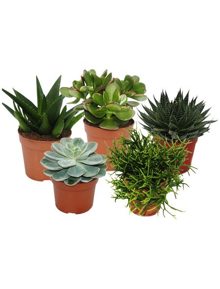 Sukkulenten Pflanze 5-er Set