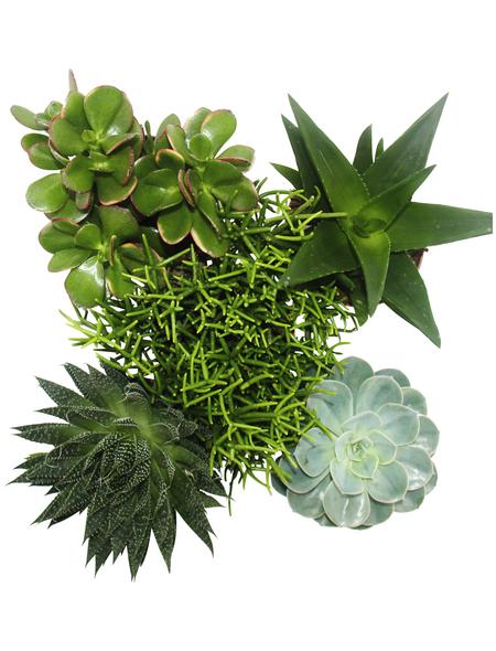 Sukkulenten Pflanze,  Sukkulente