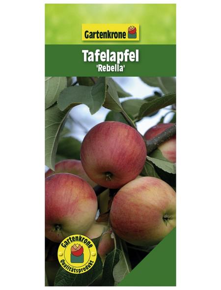 GARTENKRONE Tafelapfel, Malus domestica »Rebella«, Früchte: süß, zum Verzehr geeignet