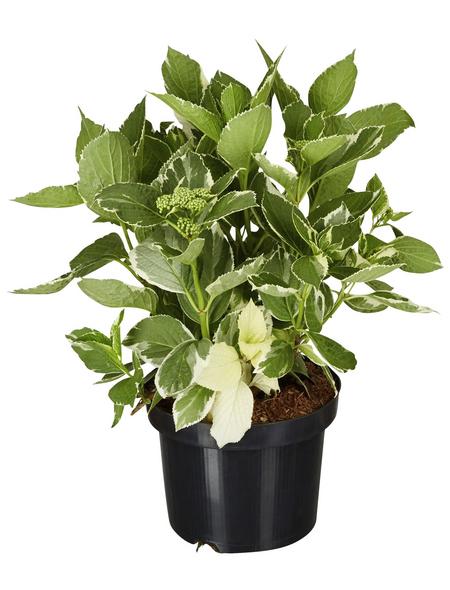 GARTENKRONE Tellerhortensie, Hydrangea macrophylla »Light-O-Day «, weiß, winterhart