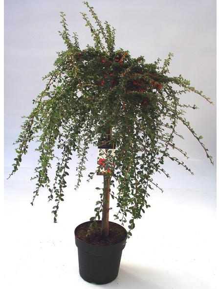 Teppichmispel, Cotoneaster dammeri »Coral Beauty«, Blütenfarbe weiß