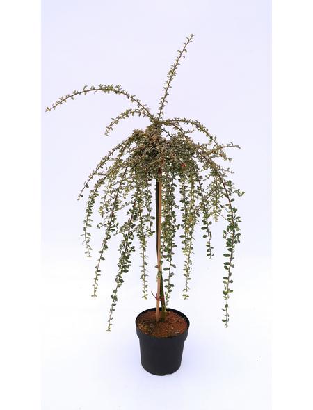 Teppichmispel, Cotoneaster dammeri »Juliette«, Blütenfarbe weiß