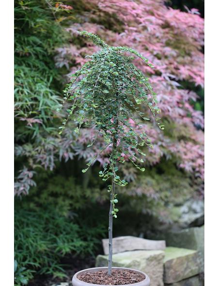 Teppichmispel, Cotoneaster proc. »Queen of Carpets«, Blütenfarbe weiß