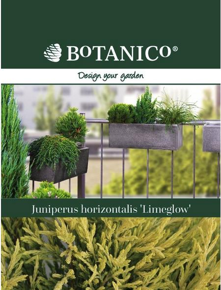 Teppichwacholder horizontalis Juniperus »Limeglow«
