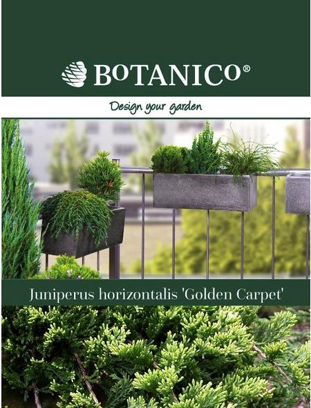 Teppichwacholder Juniperus horizontalis »Golden Carpet«