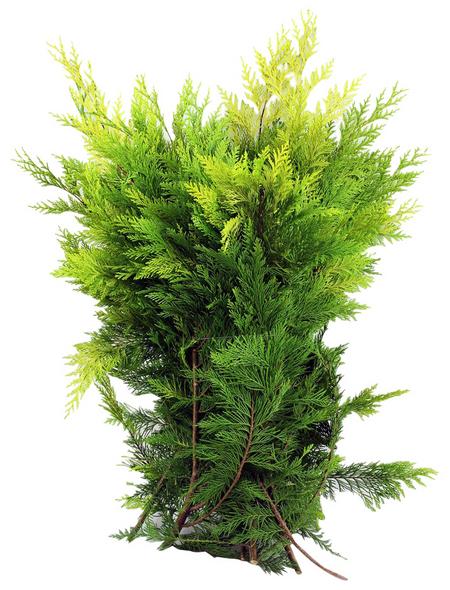 Thujazweige, Lebensbaum Bundware, 2500 g