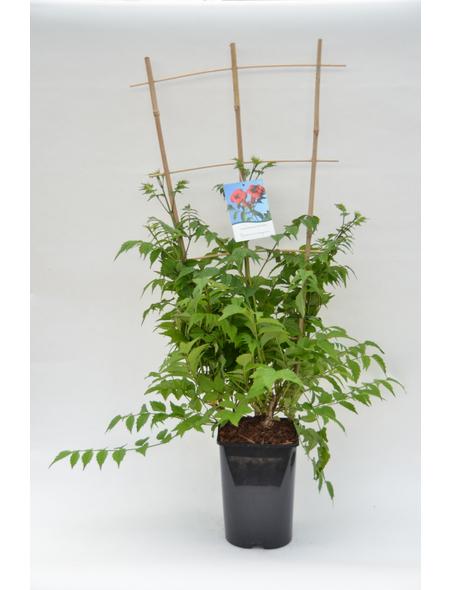 GARTENKRONE Trompetenblume, Campsis tagliabuana   »Madame Galen«, Blüten: orange